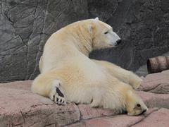 Jääkarhu rentouttava, ursus maritimus Kuvituskuvat