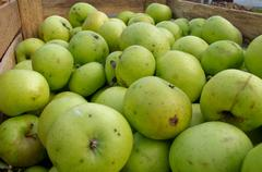 green apples in transport box - stock photo