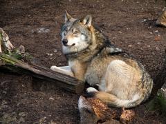 Harmaa susi, Canis lupus Kuvituskuvat