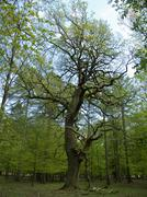 old oak tree in forest - stock photo