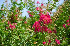 red flowers of lagerstroemia indica, crape myrtle or crepe myrtle - stock photo