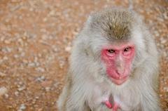 half portrait of a japanese macaque - stock photo