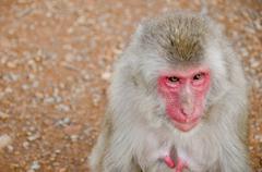 Half portrait of a japanese macaque Stock Photos