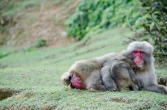 female japanese macaque with baby - stock photo