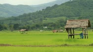 Stock Video Footage of Rice farms
