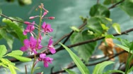 Stock Video Footage of Fireweed Blooms and Alder Leaves over Rushing Water