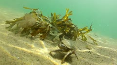 Crab Hiding in Sea Weed - stock footage
