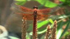 Flame Skimmer Dragonfly Stock Footage