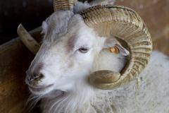 A sheep with horns Stock Photos