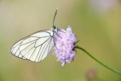 Black veined butterfly Stock Photos