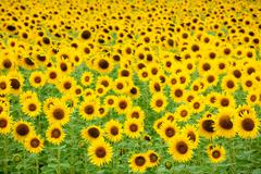 Sunflower field background Stock Photos