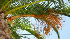Date palm tree - stock footage