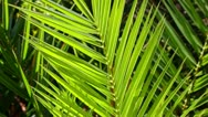 Juicy green palm tree Stock Footage