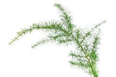 cedar branch - stock photo