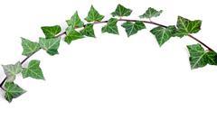 ivy branch - stock photo