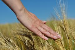 Stock Photo of hand in wheat field
