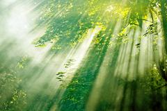 sunbeams in misty forest - stock photo
