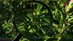 Examining Purple Lupine with Magnifying Glass - scenic Stock Footage