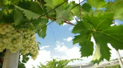 DOLLY: Muscat White Vineyard Stock Footage