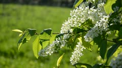 Spring bird cherry branch with  blossoms Stock Footage