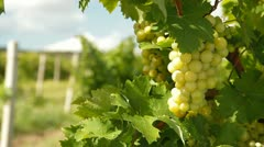 Muscat White Grapes Stock Footage