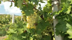 Dolly: Muscat White Grapes Stock Footage