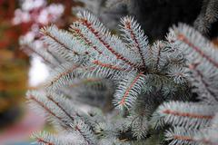 Pine tree branch Stock Photos