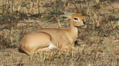 Steenbok antelope Stock Footage