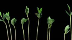 Time-lapse of growing soybeans 7b2 - stock footage