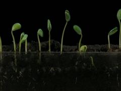 Time-lapse of growing soybeans 7b3 (DCI 2K) - stock footage