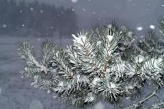 Christmas branch, snowing - stock photo