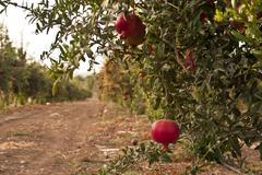Pomegranete Stock Photos