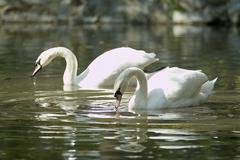 Swans on lake - stock photo