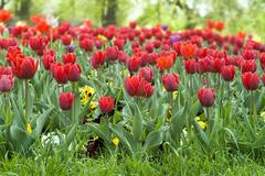 tulips garden - stock photo