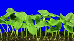 Time-lapse of growing cucumbers 6a2 - stock footage