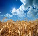 Stock Photo of wheat and sky