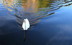 swimming swan - stock photo