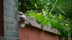 Wall flower,lush green plants on the brick wall. Stock Footage