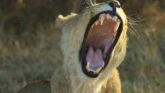 Lion Yawning in Slow Motion GFSHD Stock Footage