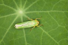 leafhopper - green insect - stock photo