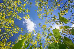 sky framed by flowering oilseed rape - stock photo