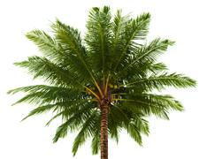 top of the coconut palm isolated on white - stock photo