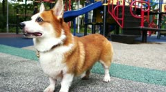 Pembroke Welsh Corgi Stock Footage