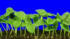 Time-lapse of growing cucumbers 6a3 (DCI-2K) - stock footage
