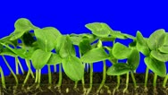 Time-lapse of growing cucumbers 6a3 (DCI-2K) Stock Footage