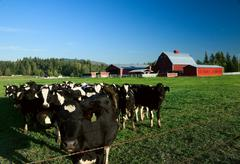 dairy cattle and red barn - stock photo