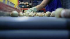 Selection of onion on vegetable base in the conveyor 2 - stock footage