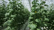 Growing herbs and vegetables in the greenhouse 2 Stock Footage