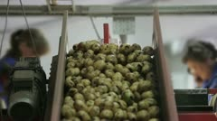 Selection of potato on the conveyor 2 - stock footage