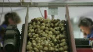 Stock Video Footage of Selection of potato on the conveyor 2